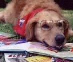 golden retriever wearing glasses reading