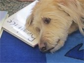 Goldendoodle with head on book